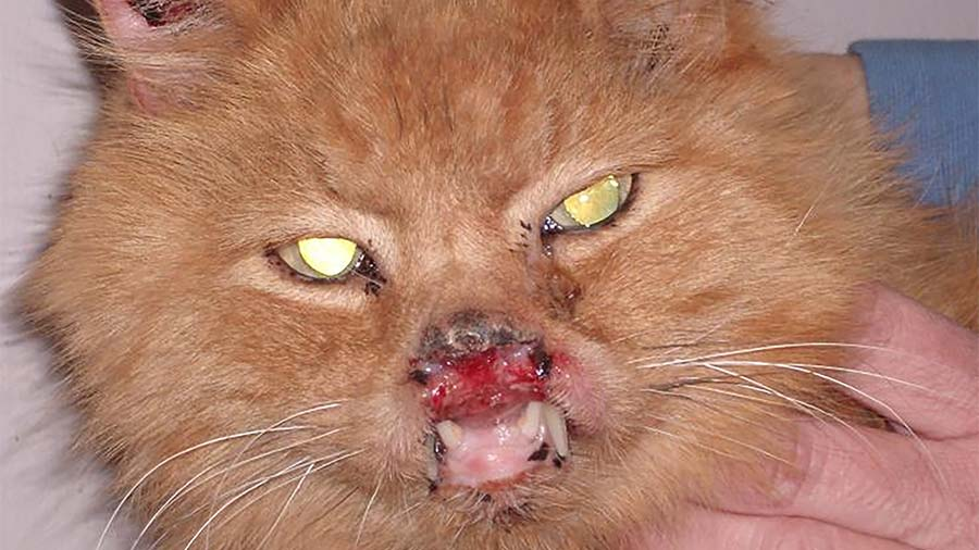 cat with rodent ulcer